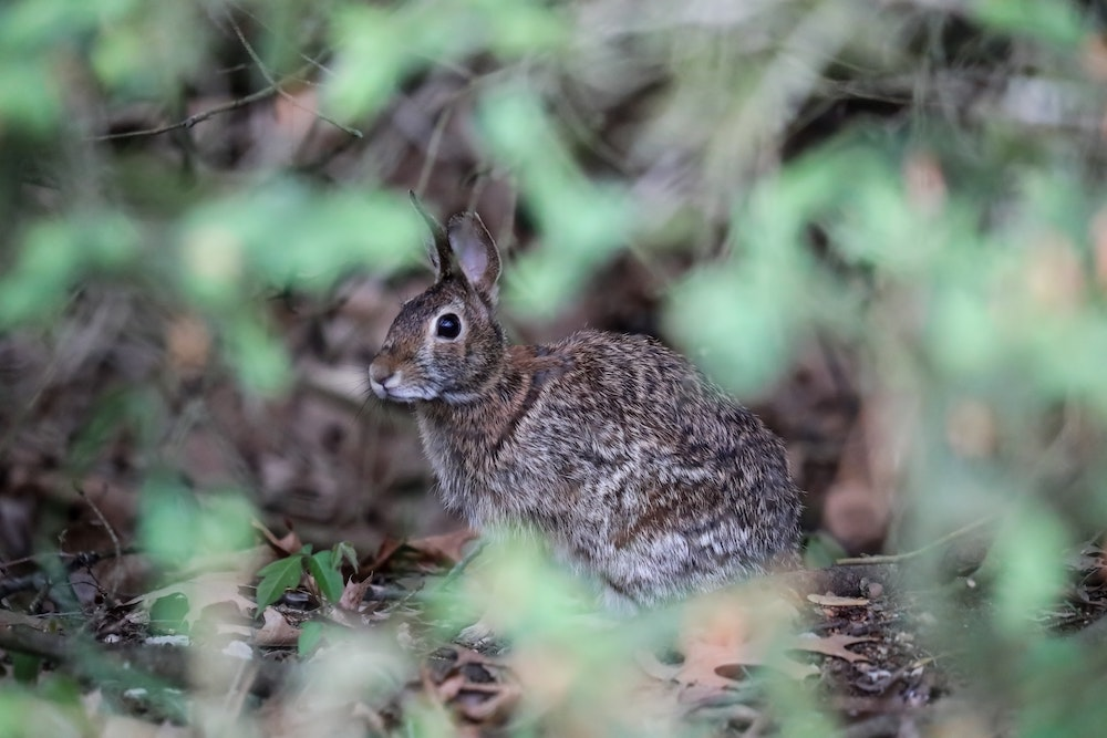 A grey and brown cottontail rabbit seeks cover under a woodland shrub. Leaf litter surrounds the rabbit.