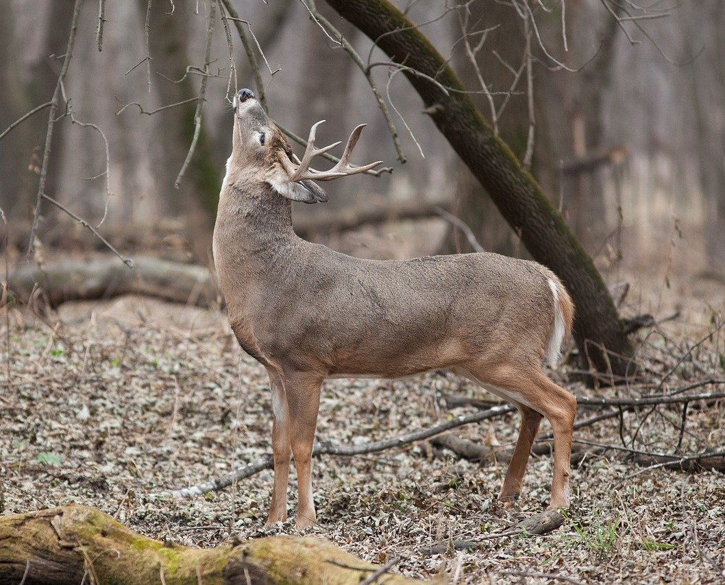 A adult male white-tailed deer sniffing a branch of a tree in a forest.