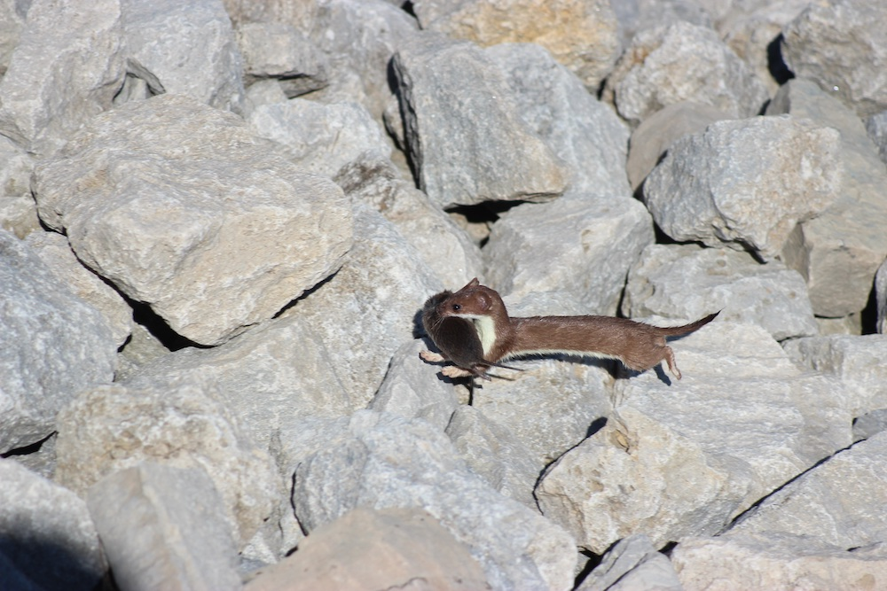 A small brown weasel with a yellow throat and chest carries a small gray, brown rodent in its mouth. In the background are gray limestone rocks.