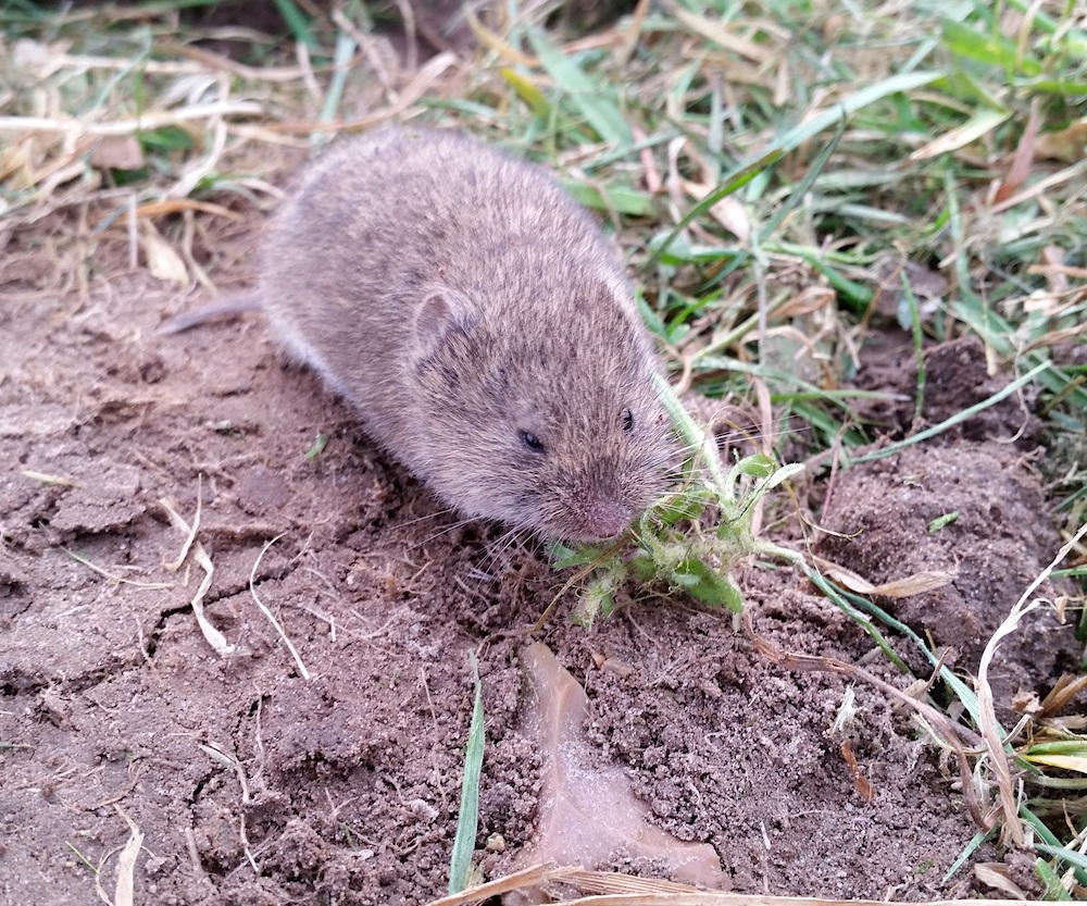 A small gray rodent with a short tail and small ears surrounded by soil and grass.