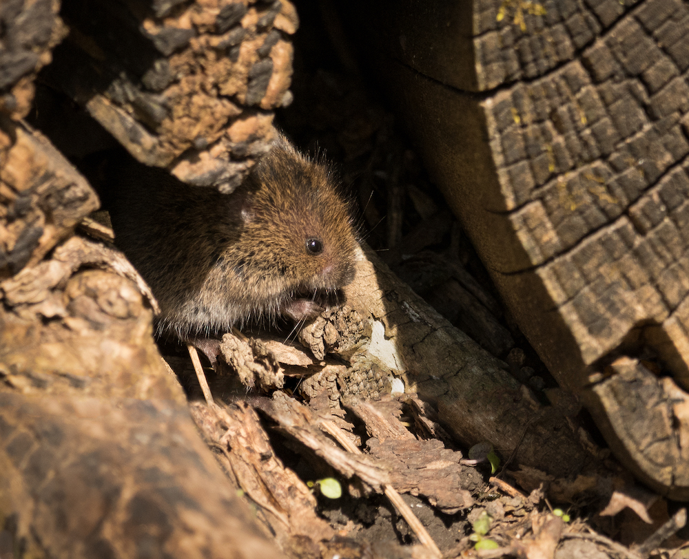 A small brown rodent rests in the sun in a crevice of a tree stump.