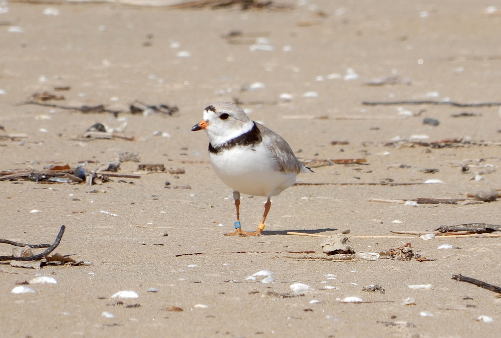 A small grey and white bird with a black ring around its neck walks on a sandy beach.