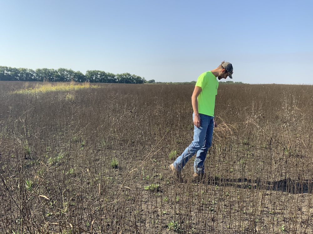A biologist in a neon green shirt and blue jeans walks through and examines a grassland after a summer prescribed burn. A blue sky is in the background.