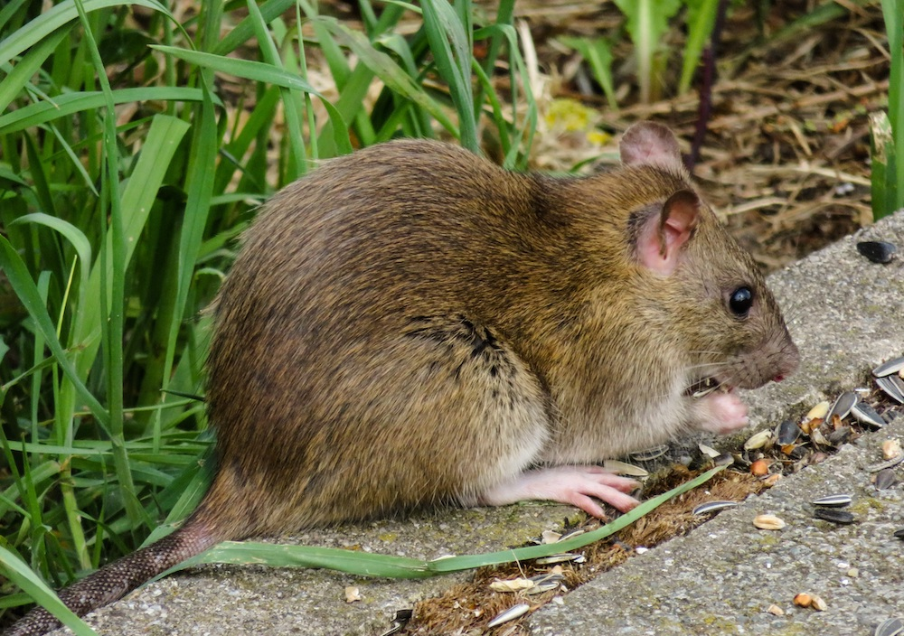 A brown rat sits on the edge of a concrete sidewalk and eats sunflower seeds. Green grass is in the background.