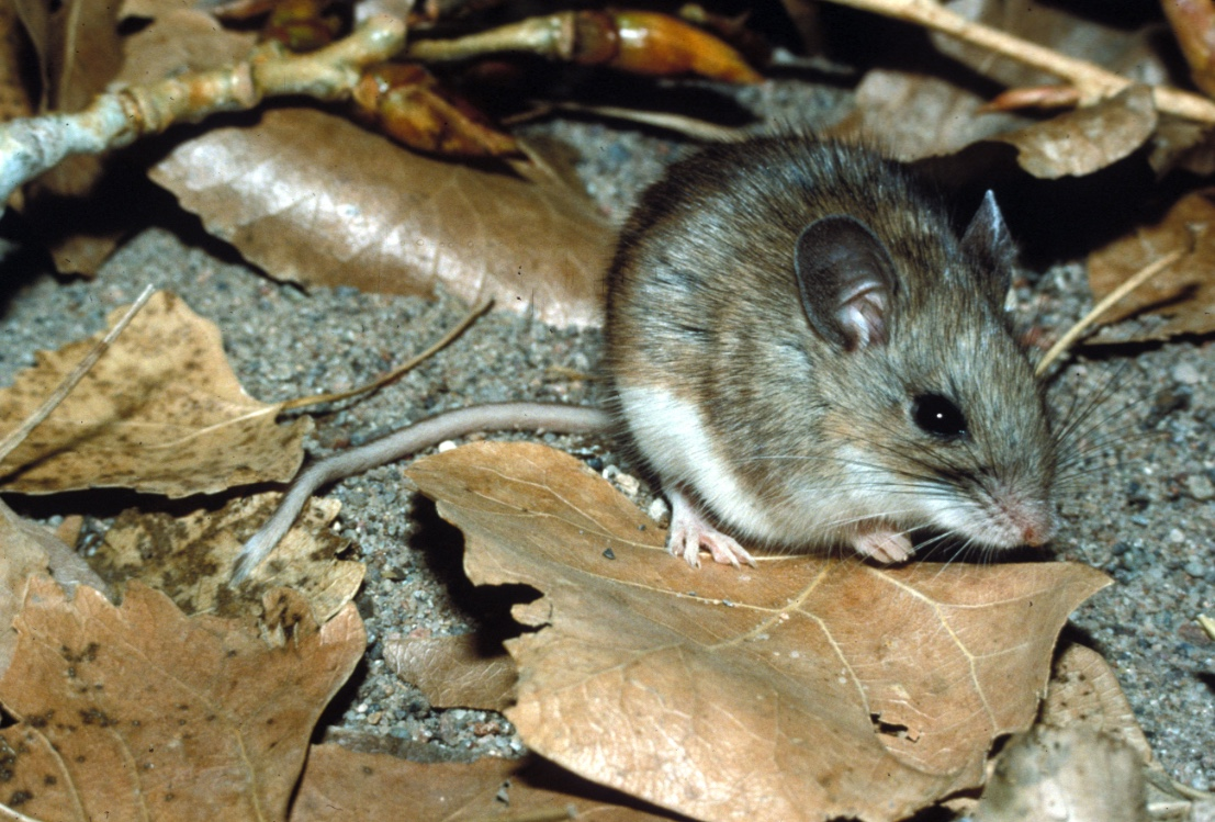 A brown, gray mouse with a white underside, sits on the ground surrounded by leaf litter.