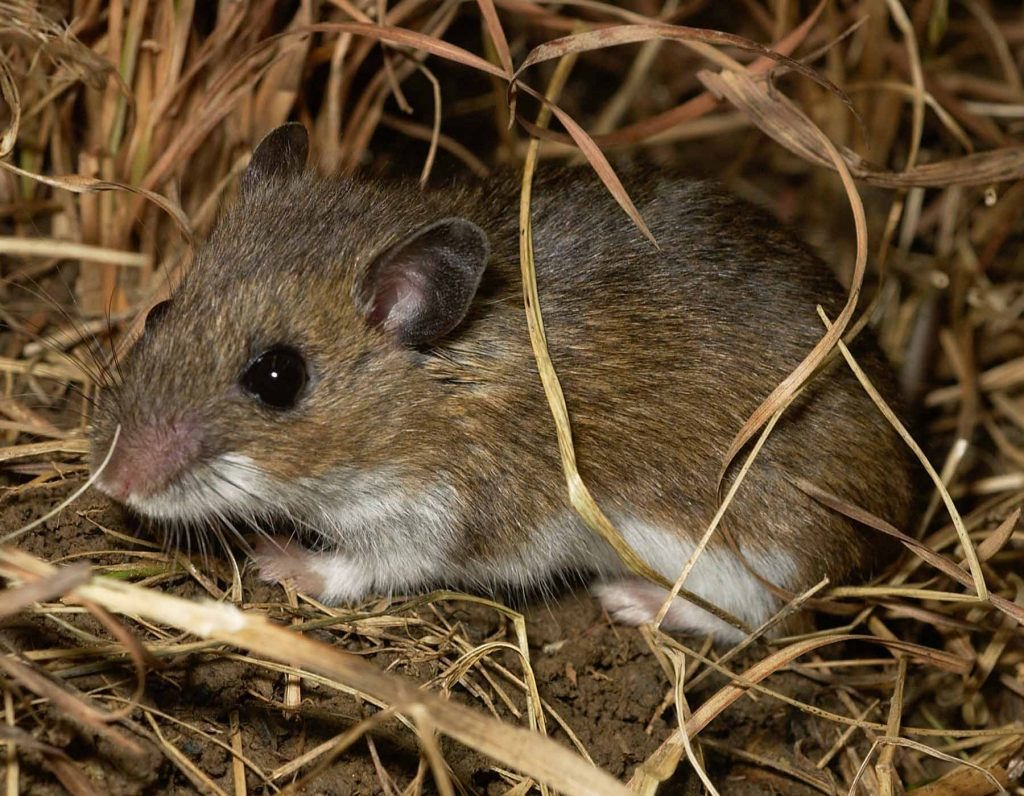 A brown mouse with a white underside sits on the ground. The mouse is surrounded by tan grasses.