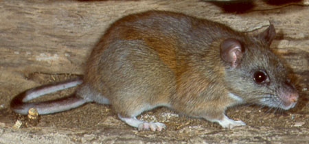 A brown, gray, and tan rat with white feet stands on the ground. A fallen log is in the background.