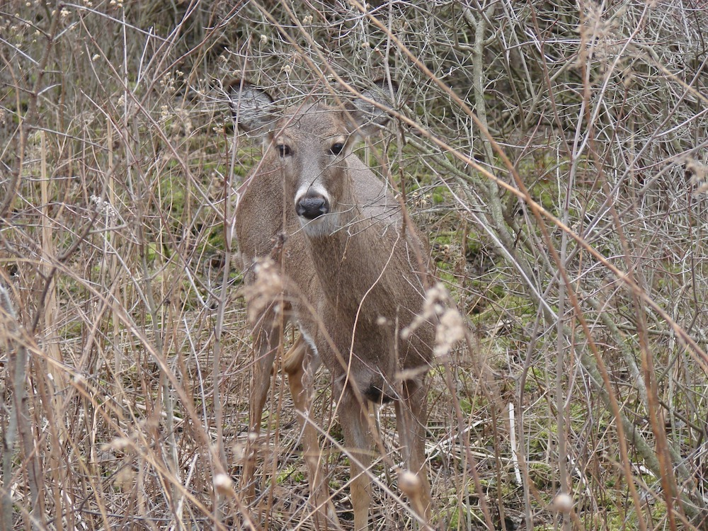 A gray white-tailed deer peers out of a brushy area.