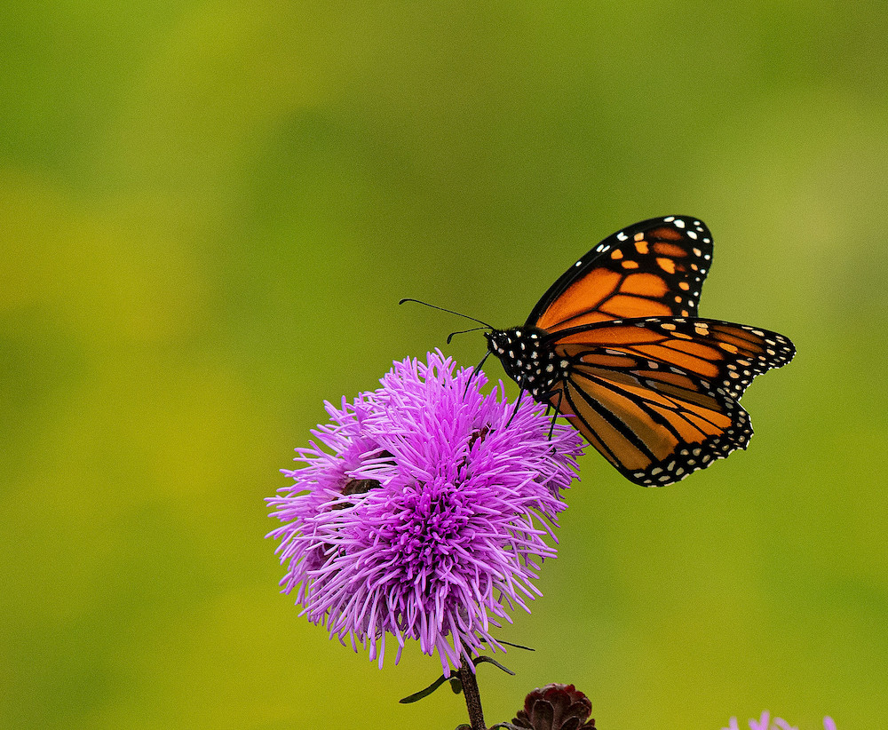 A orange, black, and white monarch butterfly nectars on a purple flower.
