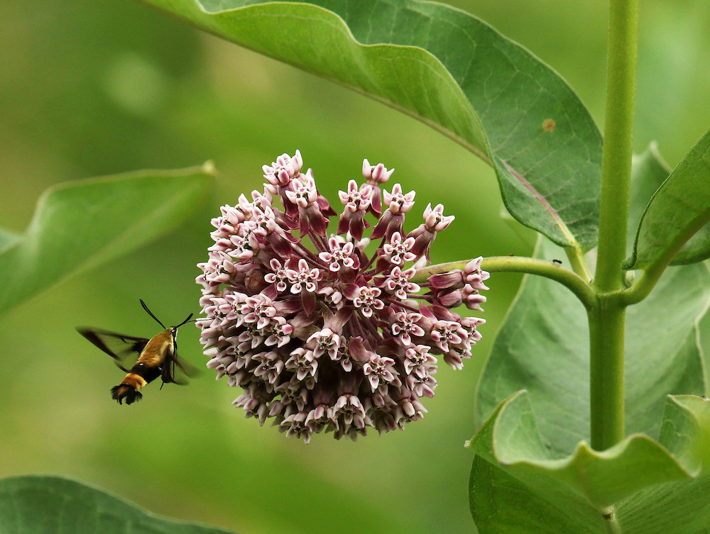 A black and tan moth nectars on a pale pink cluster of flowers. Green leaves and stems surround the flower and moth.