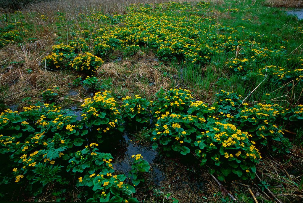 Lush yellow flowers grow in a wetland.