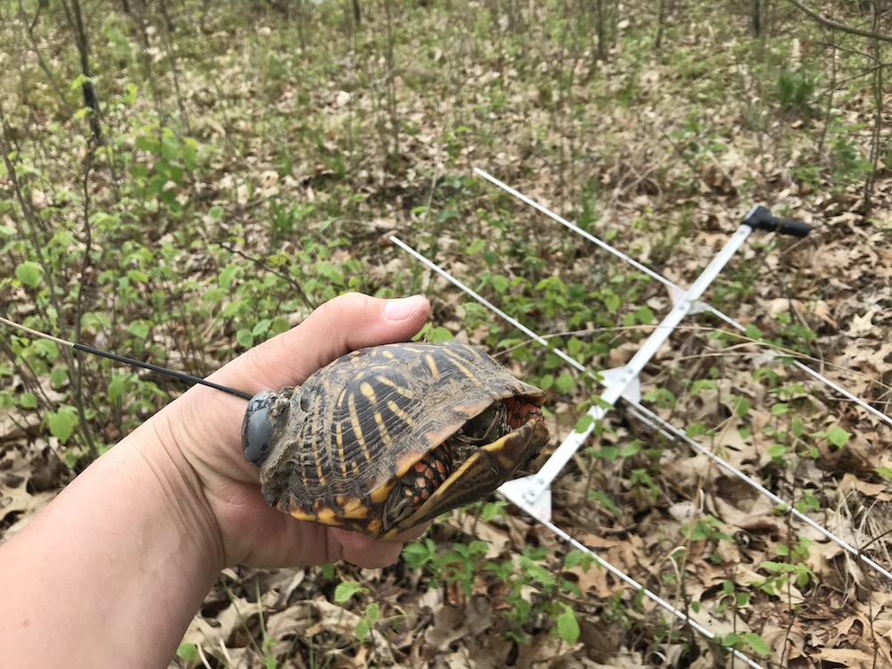 A researcher holds a turtle fitted with a transmitter. An antenna is in the background over a leaf littered forest floor.