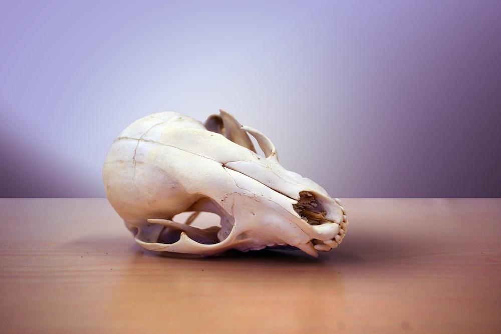 A mammal skull sits on a wooden table-top against a lavender background.