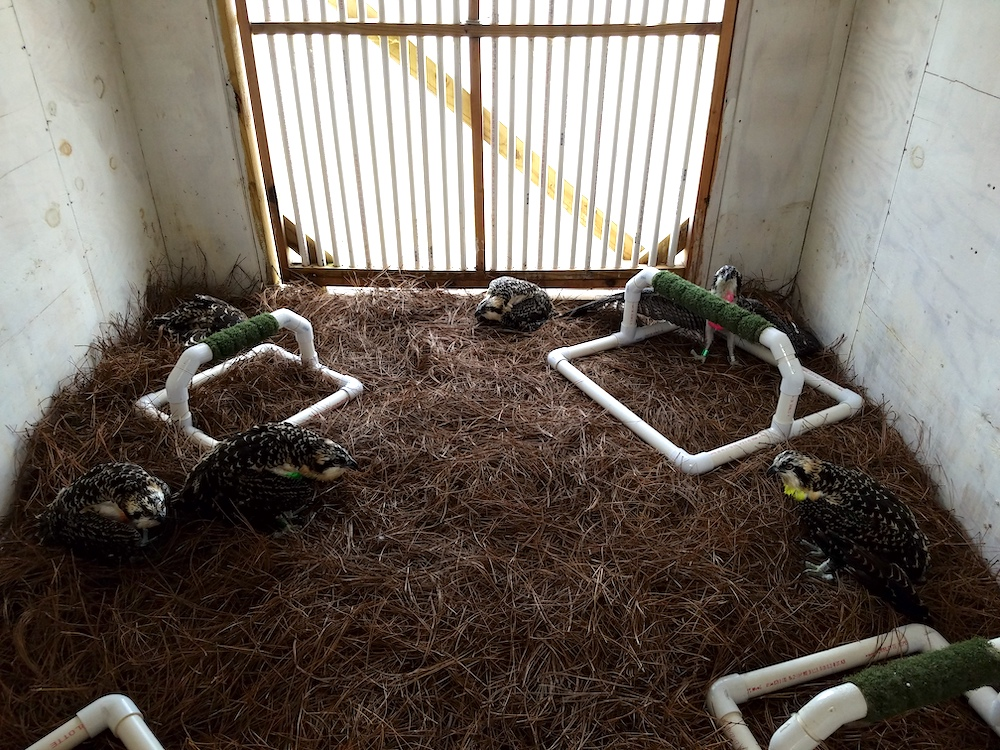A group of juvenile hawks rest in a small room. Perches are situated around the room. A window with bars is in the background.