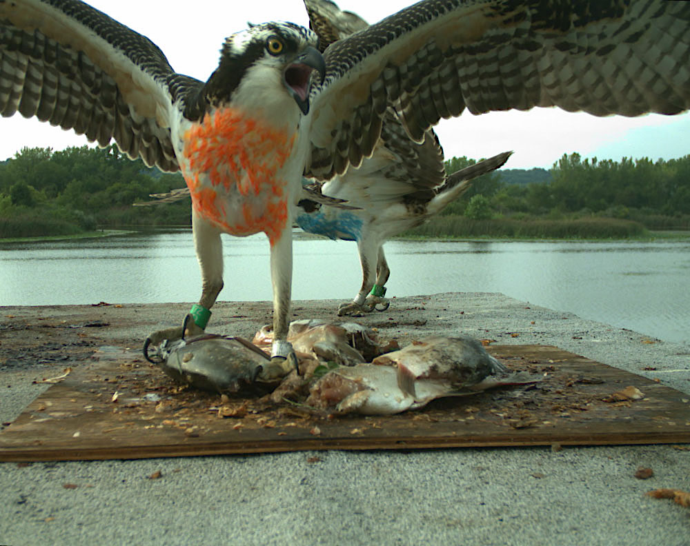 Two hawks stand on a platform with wings extended. There is fish on the platform, and one hawk is standing on the fish. In the background is a lake with trees.