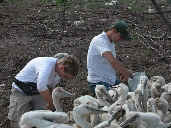 Two biologists in white shirts are standing near group of white long beaked waterfowl. In the background is a bare patch of ground scattered with tree limbs and leaf litter.