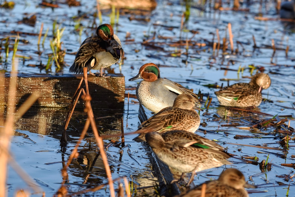 A group of wild ducks stand on wooden planks in a wetland. One duck sits on the water preening and adjusting its feathers. The ducks are all mostly brown, gray, and tan. Some of the ducks have a green iridescent stripe overing their eyes with cinnamon brown surrounding the stripe on their heads.