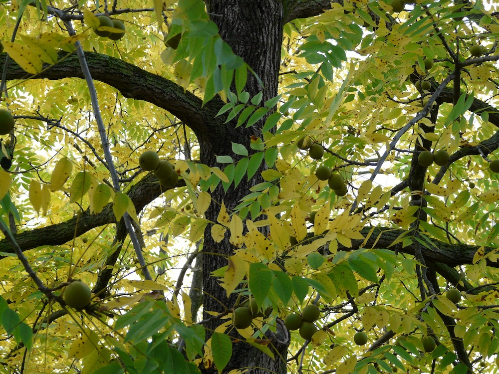 The canopy of a walnut tree is starting to turn yellow in early autumn. Ripe walnuts are abundant on the tree.