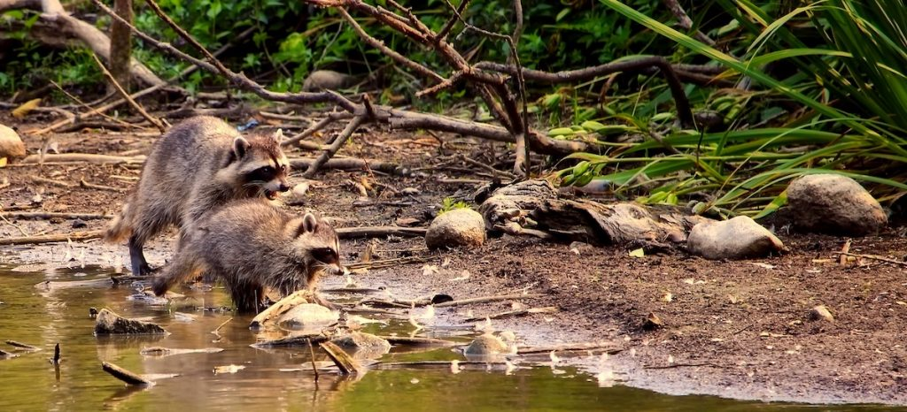 Two raccoons are foraging along a creek bank. In the background are fallen tree branches and green vegetation.