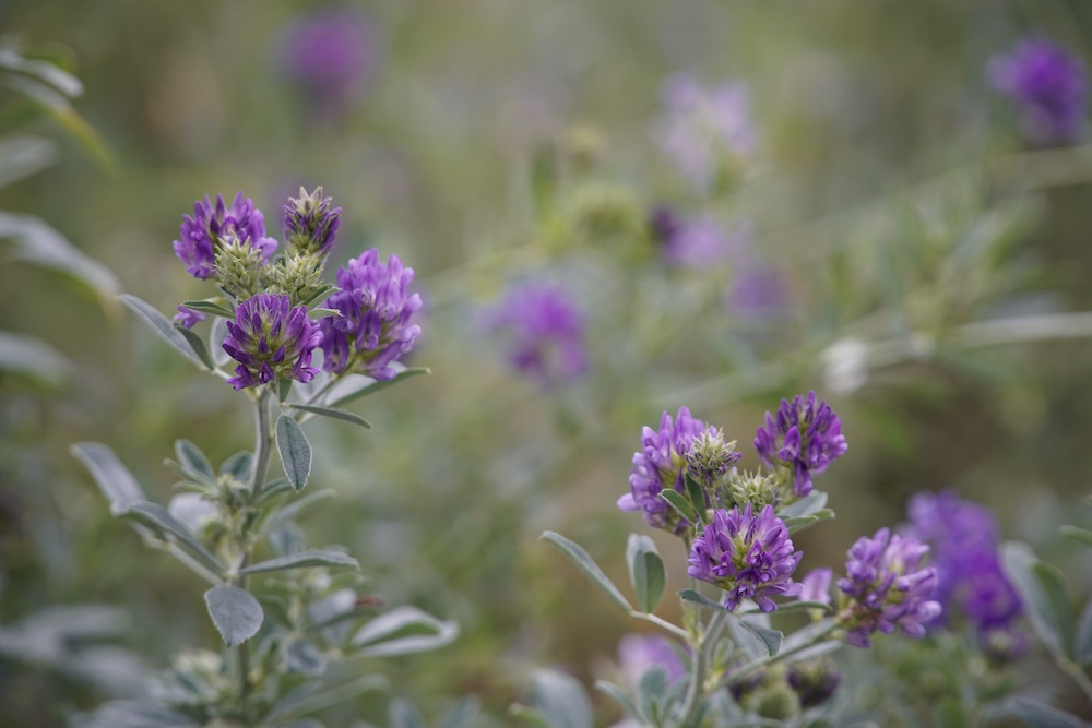 A close-up of fluffy, spherical purple alfalfa flowers is in an alfalfa field.