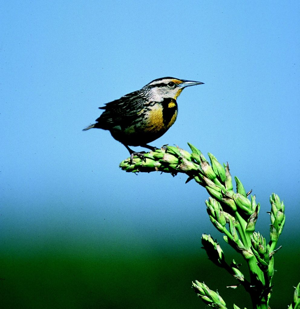 A songbird perches on a flower stalk against a blue sky. The bird has some yellow around its face and breast.
