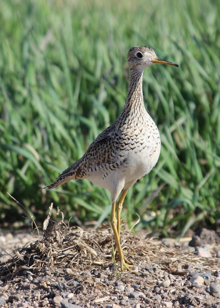 A tall wetland bird with mottled black and white feathers and long yellow legs stands alert on a dry pebbly patch of soil. Green vegetation is in the background.