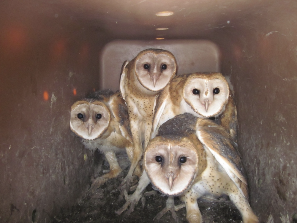 A group of young white, gray, and tan barn owls stand together in a nest box. The interior of the nest box is brown.