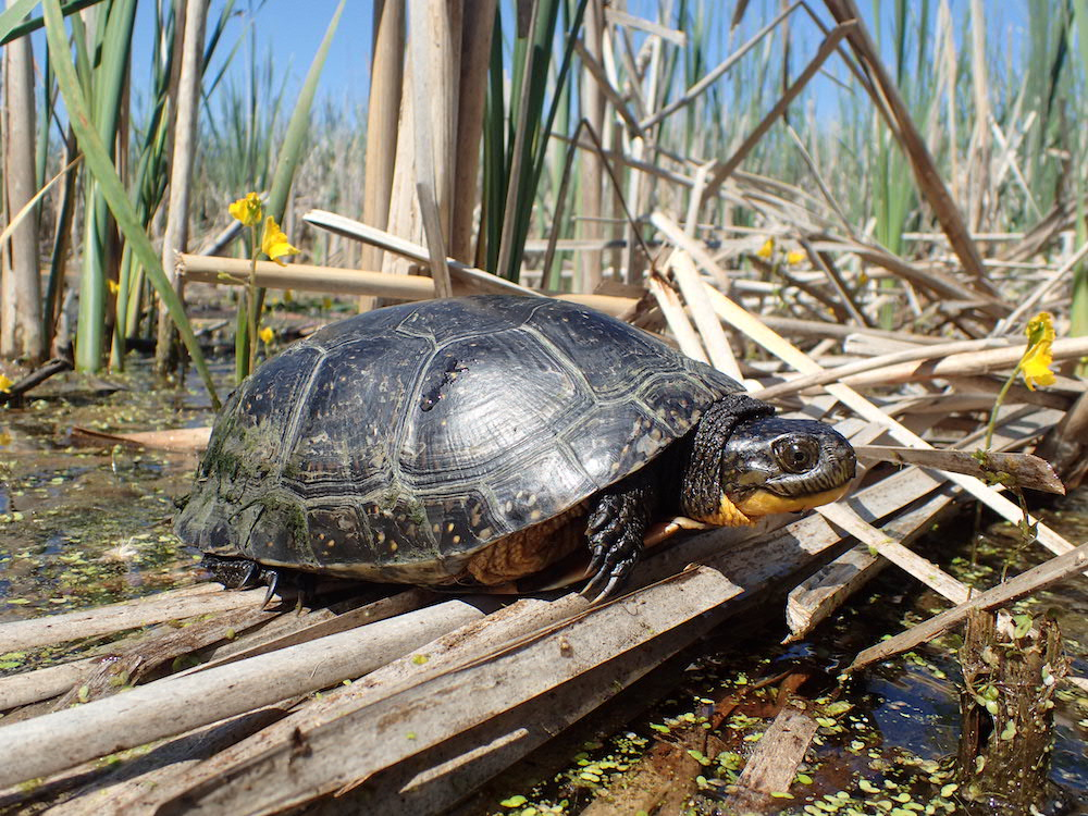 A black turtle with yellow under its chin rests on top of a bunch of fallen cattail stalks. The turtle is surrounded by water and in the background is green and beige cattails.