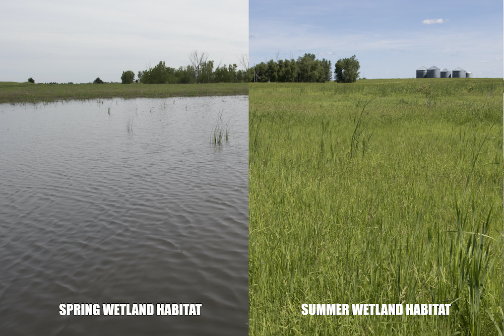 Two photos side-by-side show a comparison between a wetland with standing water in spring and the same wetland dry with many plants growing in it in summer.