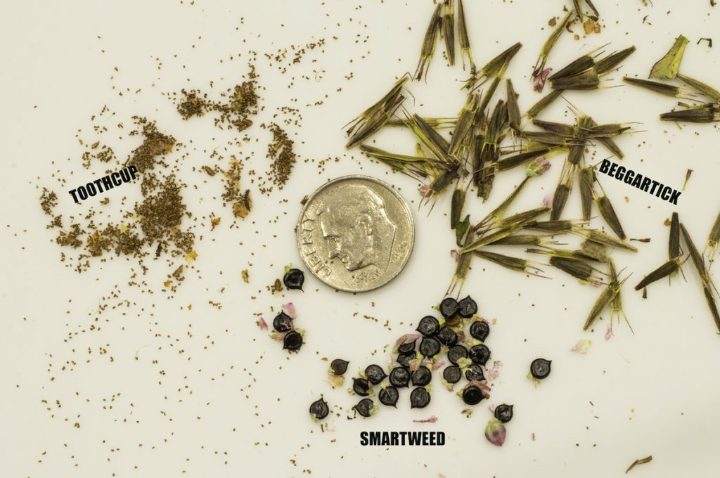 A photo comparing three types of small seeds. One is tiny and round, another is dark and oval with a tip at the end, and the last is long and with small hairs at one end. A shiny dime is placed in the center so the scale can be approximated by the viewer.