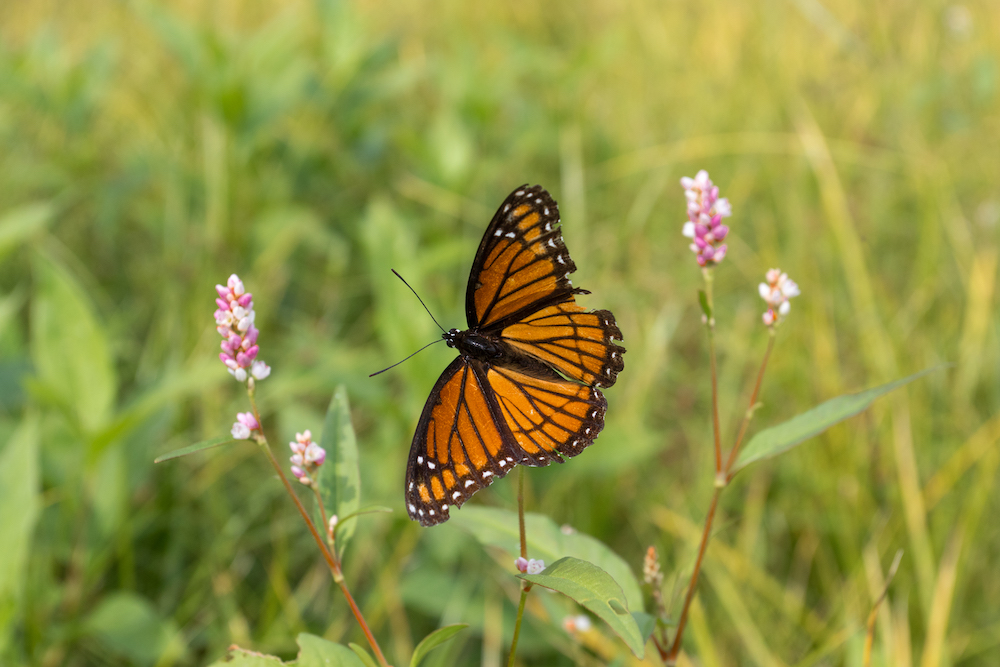 A butterfly with orange, black with small white spots on its wings lands on a pink flower to nectar. In the background is green vegetation.