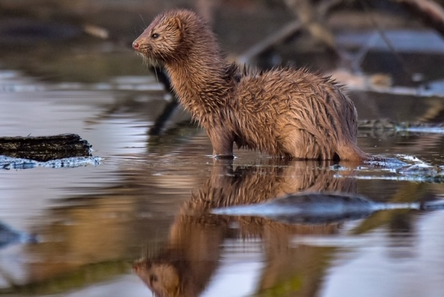 A brown mink stands in water and looks off to the left. In the background is branches floating in the water.