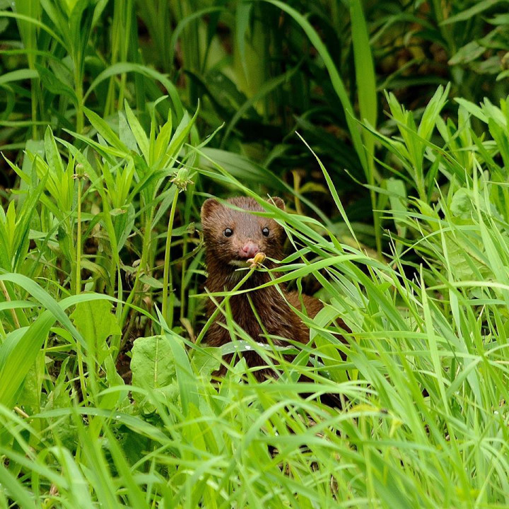A brown mink with white under its chin gazes out from its hiding place of green grasses and vegetation. In the background is more green vegetation.