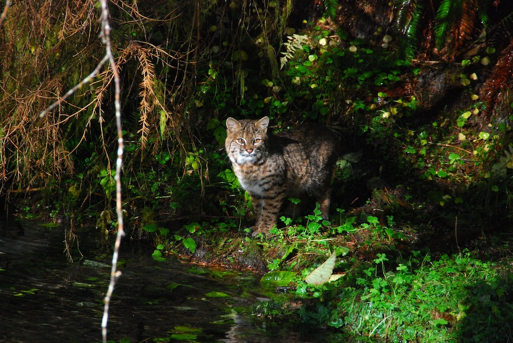 A brown, black, tan, and white mottled bobcat stands at the edge of a body of water. The bobcat is partially hidden in the shadows of trees. Some sunlight falls across the head, chest and side of the bobcat. In the background is green undergrowth vegetation of a forest.