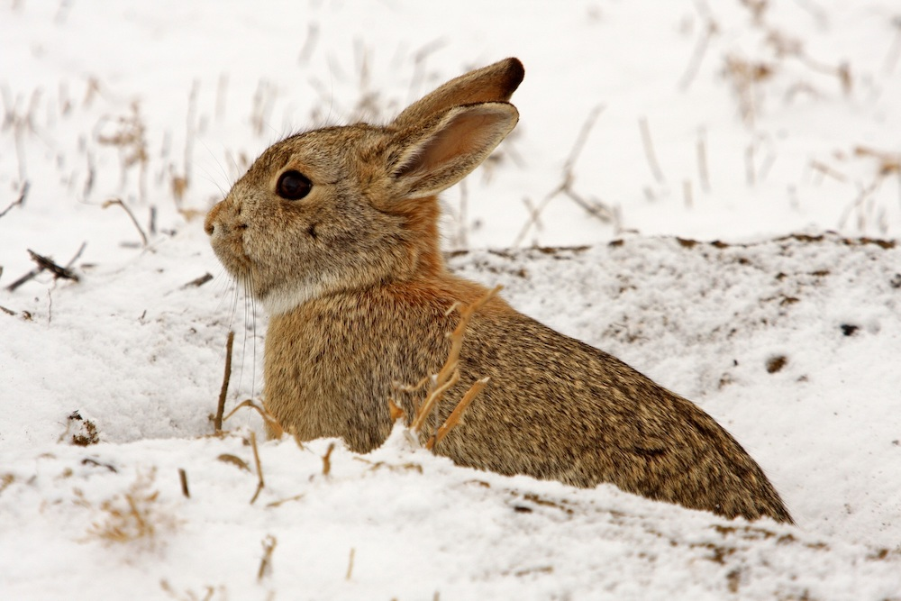 A cottontail rabbit looks out from its burrow. It is surrounded by a snowy landscape.
