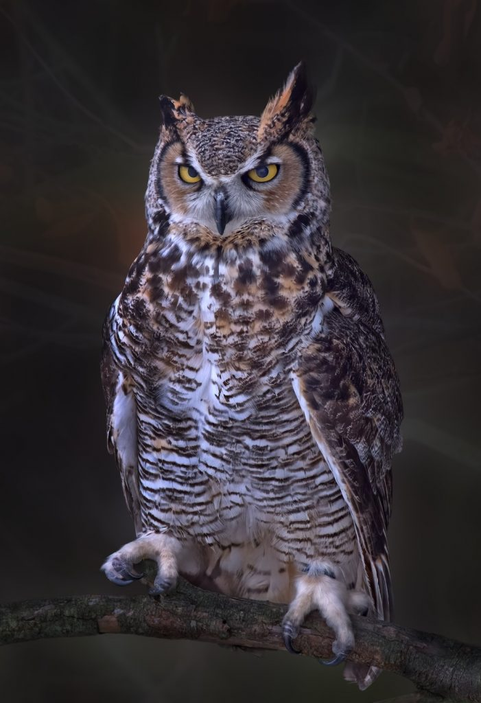 A close-up of a large brown, black, and white mottled great horned owl perches on a branch.