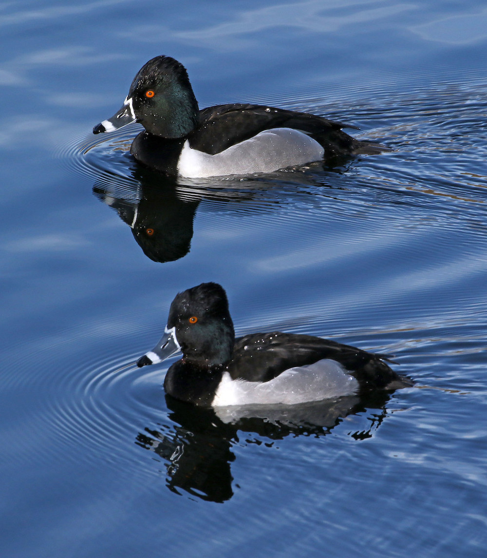 Two black, gray, and white ducks glide on the water of a wetland.
