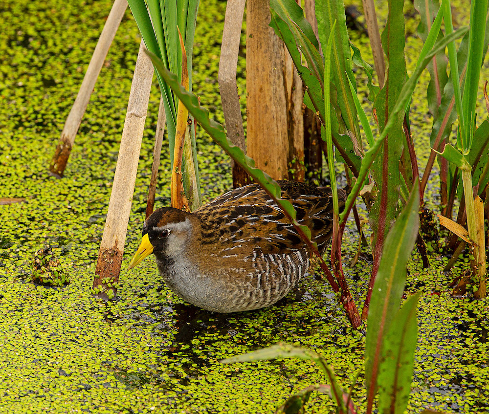 A brown, gray, and black bird wades in a wetland foraging for food. Vegetation surrounds the bird.