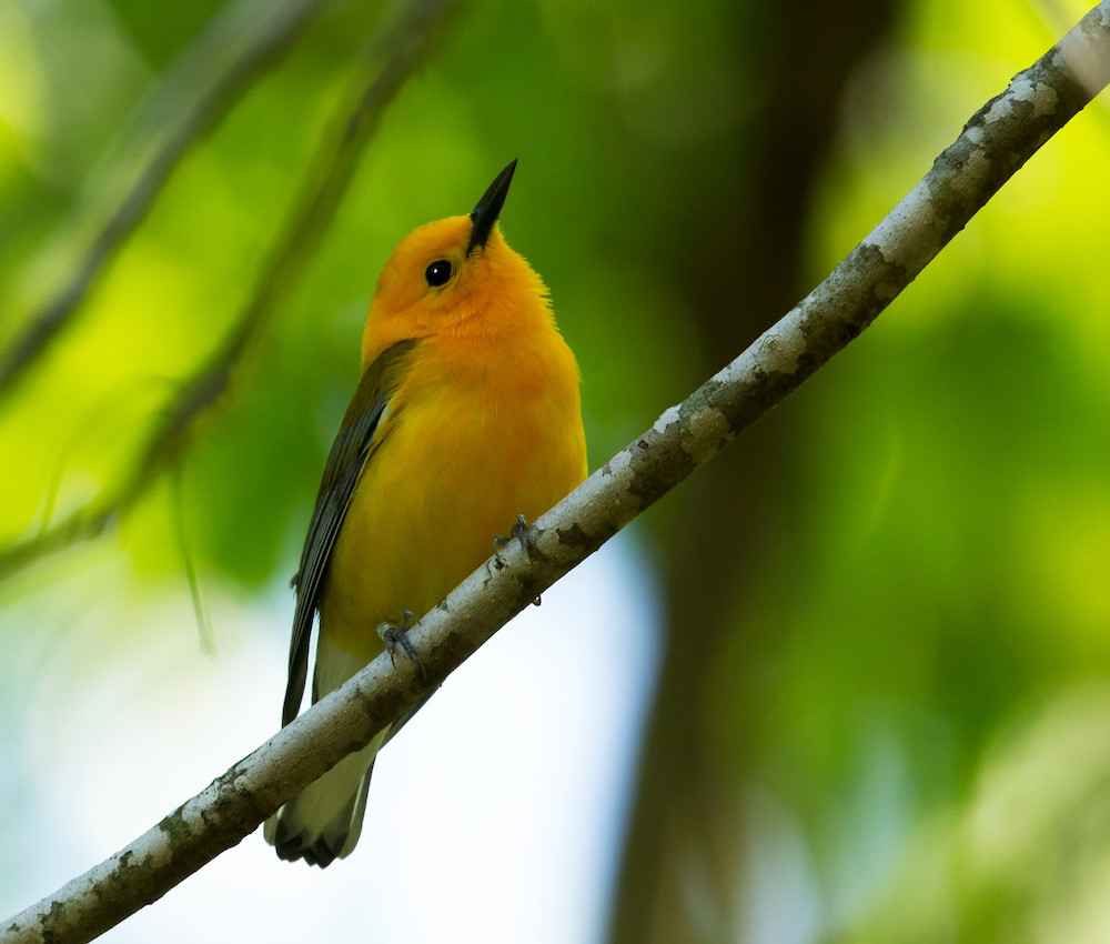 A yellow, orange bird with gray wings perches on a branch. Green leaves and branches are in the background.