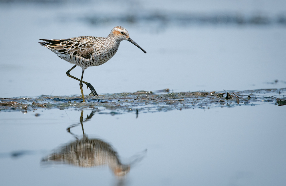 A tan, brown, and rust colored shorebird with long greenish legs walks in a wetland.