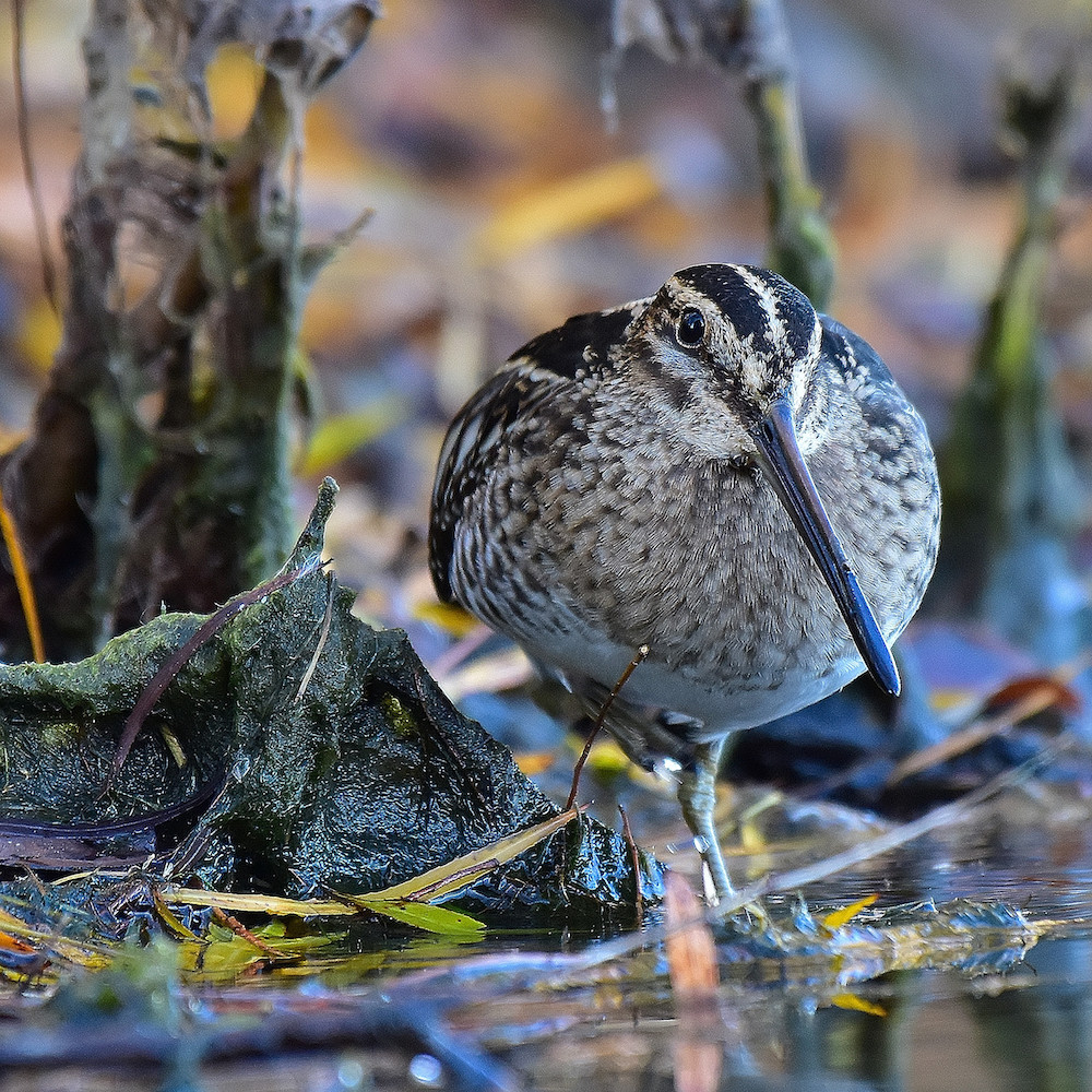 A brown, black, and white mottled shorebird with a long beak is foraging along the edge of a wetland.