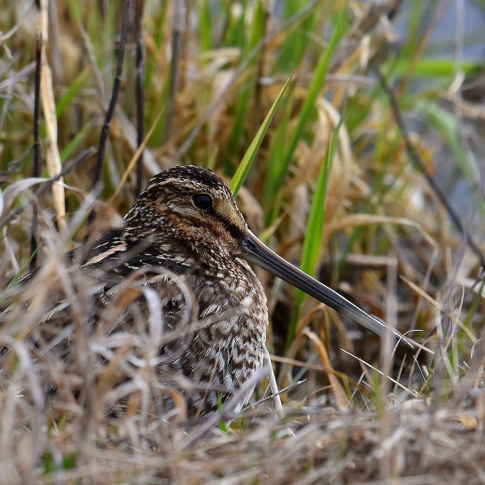 A brown, black, and white mottled shorebird with a long beak rests nestled in some grass and vegetation near the edge of a wetland.