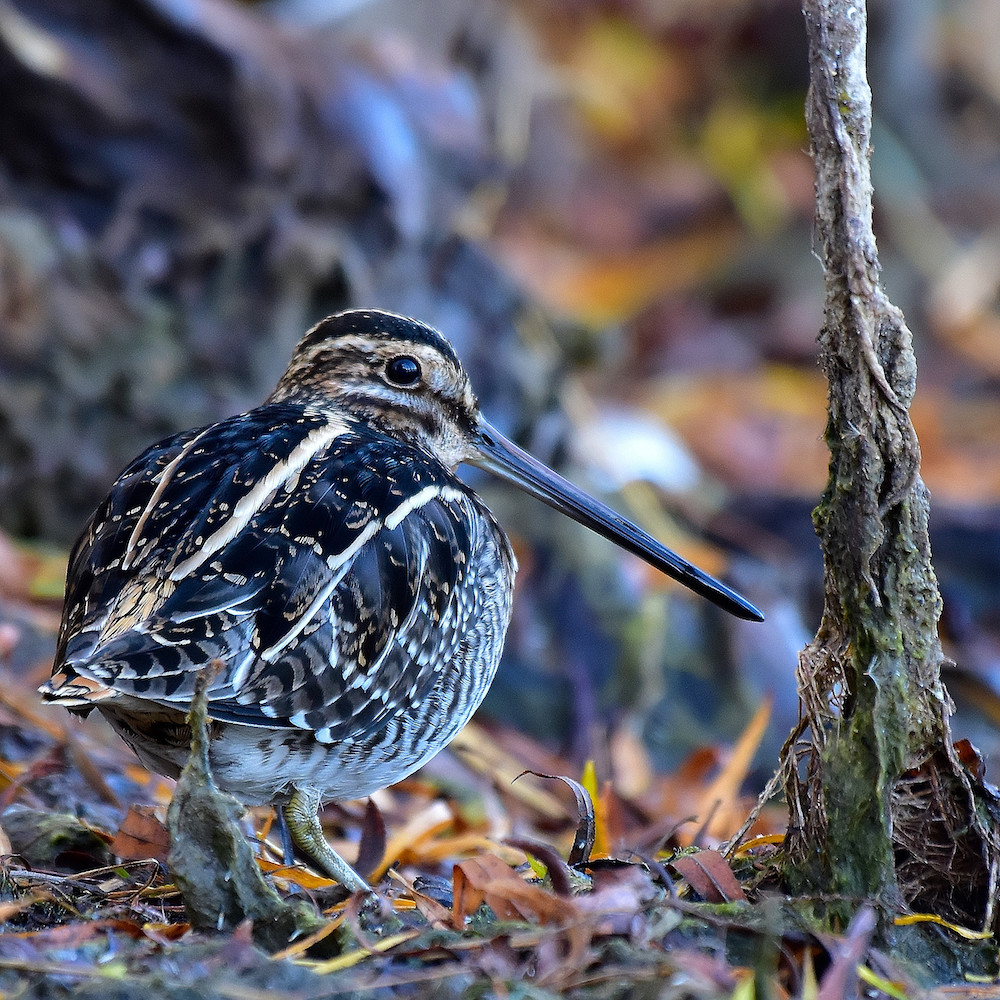 A brown, black, and white mottled shorebird with a long beak walking amongst some leaf litter on the edge of a wetland.