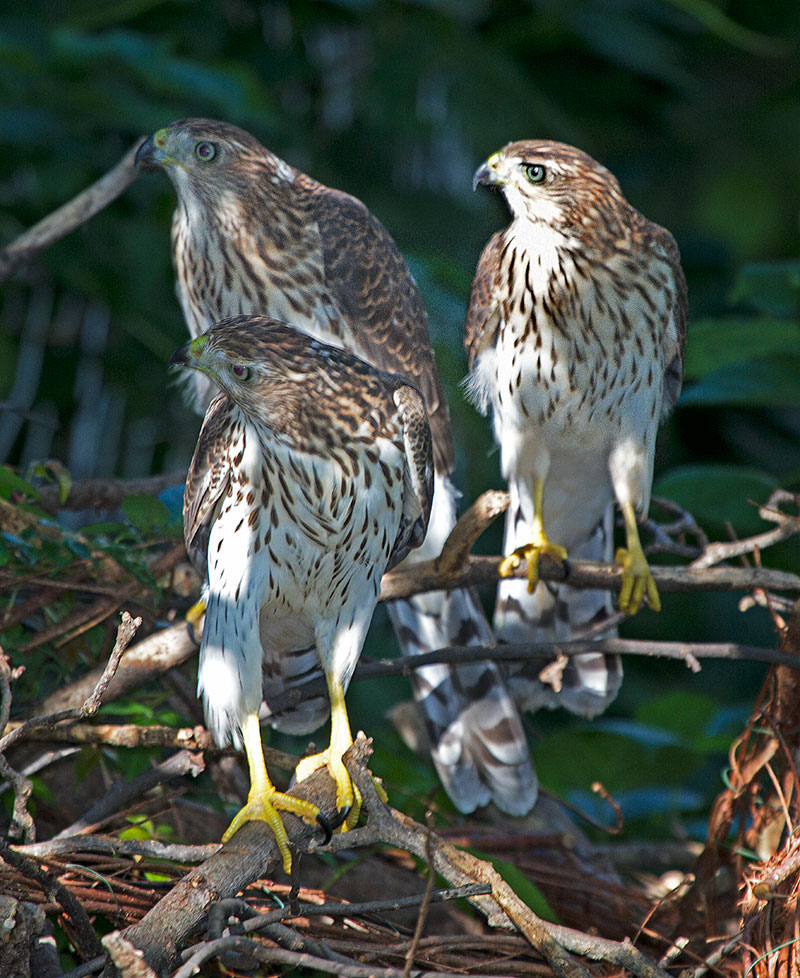 Three juvenile brown and white hawks perch on tree branches. In the background is green leafy vegetation.