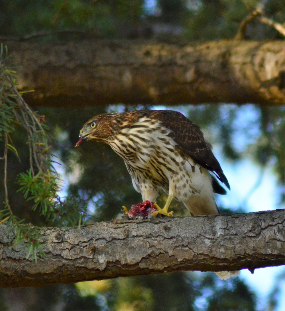 A hawk perches on a tree branch and tears off a piece of meat in its beak from its prey.