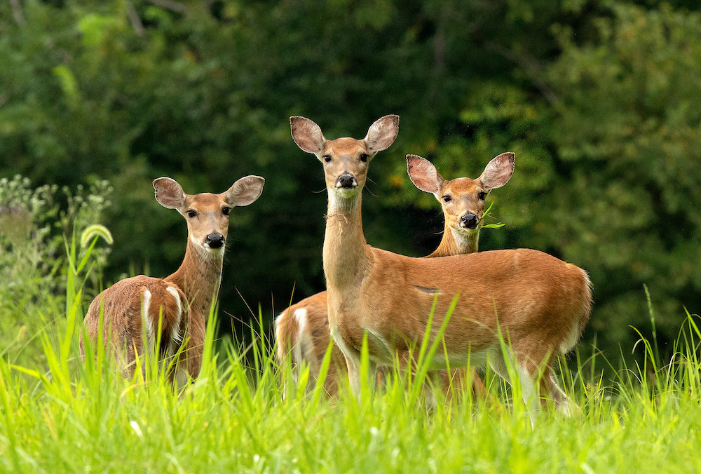 Three white-tailed deer standing in a green, lush grassland. In the background is a forest.