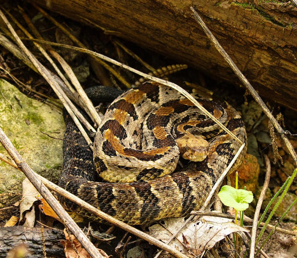 A brown, tan, and black timber rattlesnake curls up near a fallen log amongst some leaf litter.