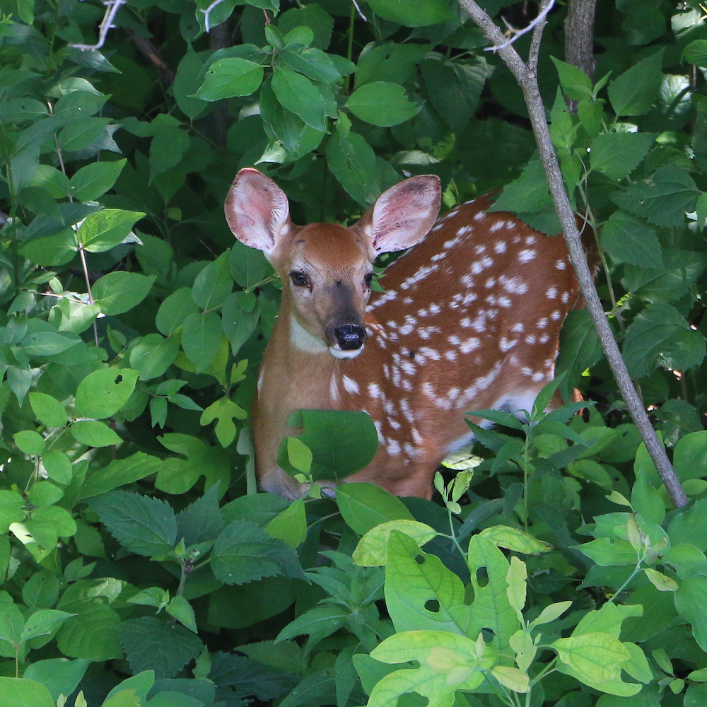 A young spotted white-tailed deer fawn stands amongst green woodland understory vegetation.