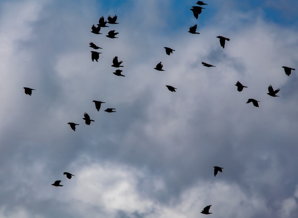 A murder of crows are flying in the sky. In the background, blue sky peeks out from behind puffy white clouds.