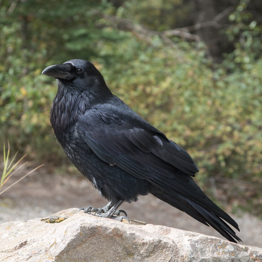 An all black raven perches on a rock. In the background is brushy vegetation.